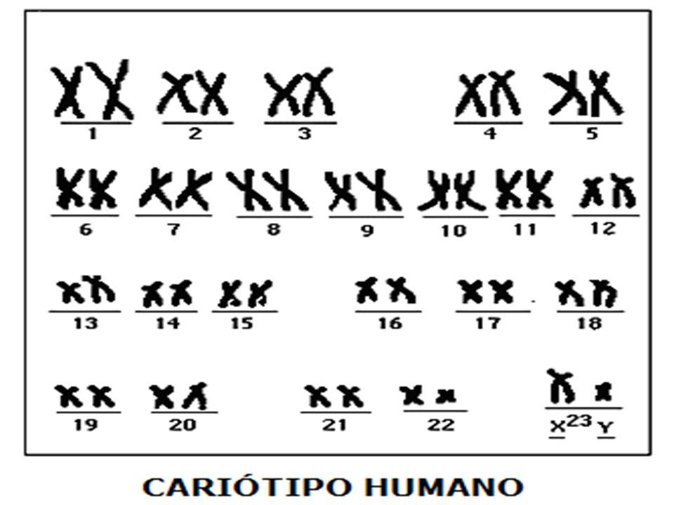CARIÓTIPO REPRESENTAÇÃO MORFOLÓGICA DO CONJUNTO CROMOSSÔMICO DE UMA ESPÉCIE