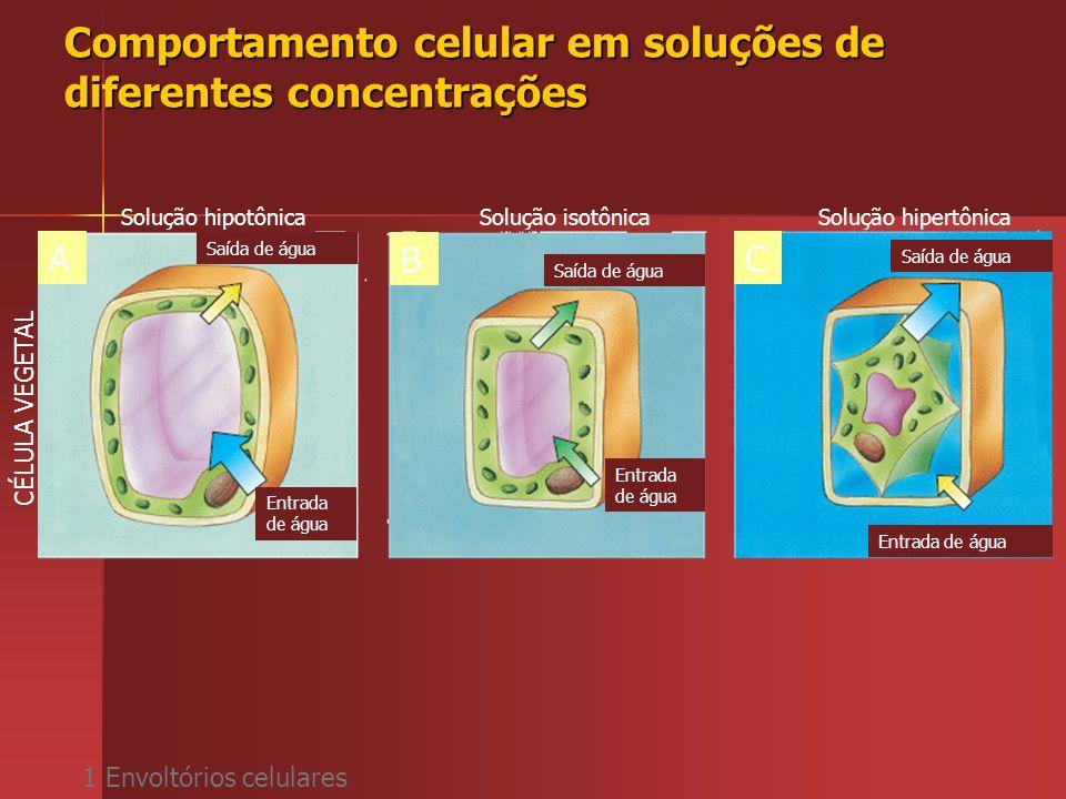 Comportamento celular em soluções de diferentes concentrações 1 Envoltórios celulares Solução hipotônicaSolução isotônicaSolução hipertônica ABC CÉLUL
