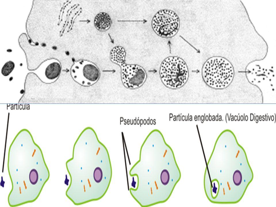 ENDOCITOSE FAGOCITOSE Englobamento de partículas SÓLIDAS por pseudópodes. PINOCITOSE Englobamento de partículas LÍQUIDAS por invaginações.