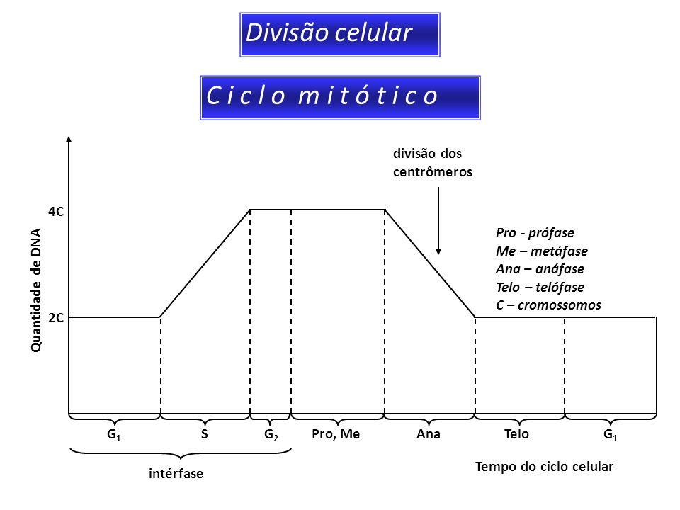 Divisão celular C i c l o m i t ó t i c o divisão dos centrômeros Pro - prófase Me – metáfase Ana – anáfase Telo – telófase C – cromossomos 2C 4C G1G1