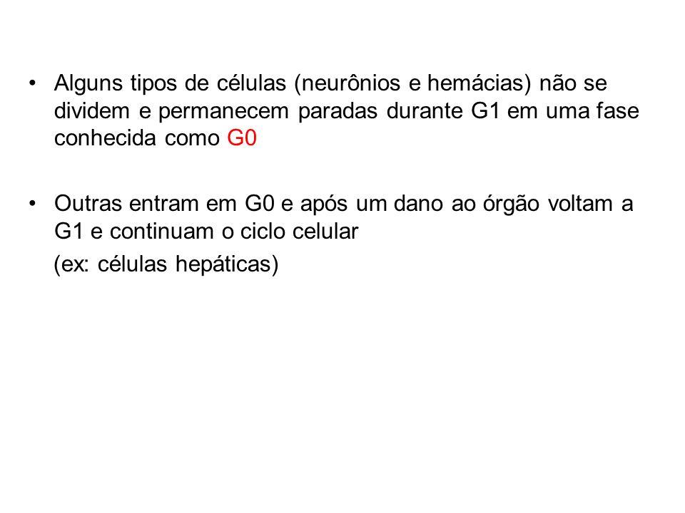 Alguns tipos de células (neurônios e hemácias) não se dividem e permanecem paradas durante G1 em uma fase conhecida como G0 Outras entram em G0 e após