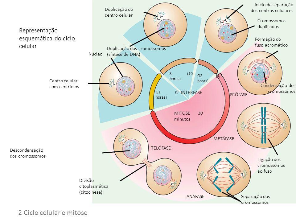 Representação esquemática do ciclo celular Ciclo celular MITOSE 30 minutos INTERFASE G1 (9 horas) S (10 horas) G2 (4,5 horas) Núcleo Centro celular co