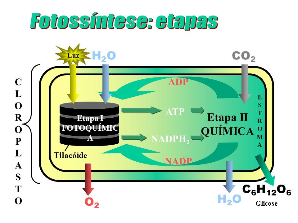CLOROPLASTOCLOROPLASTO Tilacóide Etapa II QUÍMICA Etapa I FOTOQUÍMIC A Luz H2OH2O CO 2 ADP NADP H2OH2O C 6 H 12 O 6 ATP NADPH 2 O2O2 ESTROMAESTROMA Gl