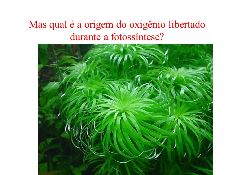 Mas qual é a origem do oxigênio libertado durante a fotossíntese?