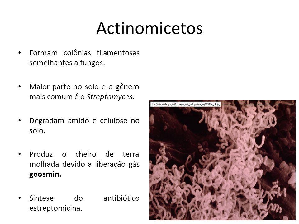 Actinomicetos Formam colônias filamentosas semelhantes a fungos. Maior parte no solo e o gênero mais comum é o Streptomyces. Degradam amido e celulose