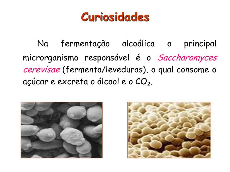 Curiosidades Na fermentação alcoólica o principal microrganismo responsável é o Saccharomyces cerevisae (fermento/leveduras), o qual consome o açúcar