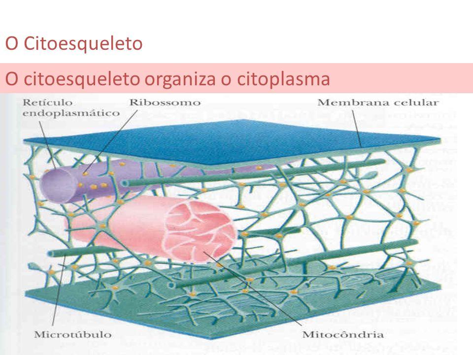 O citoesqueleto organiza o citoplasma O Citoesqueleto
