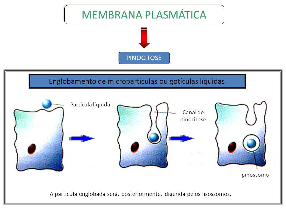 PINOCITOSE MEMBRANA PLASMÁTICA Canal de pinocitose Partícula líquida pinossomo Englobamento de micropartículas ou gotículas líquidas A partícula englo