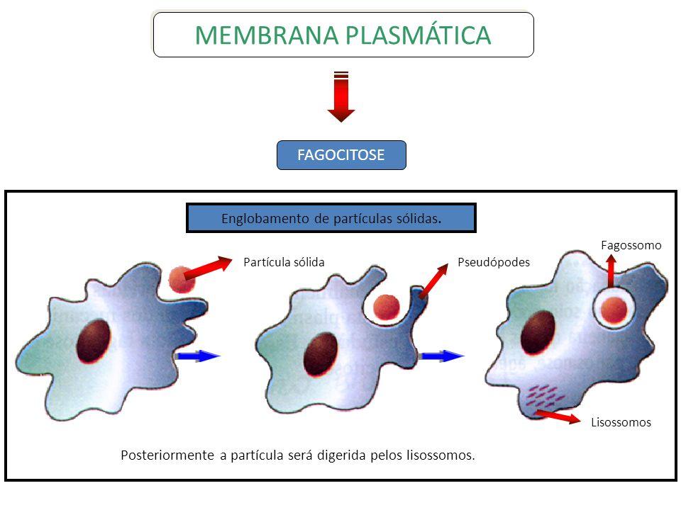 FAGOCITOSE MEMBRANA PLASMÁTICA Fagossomo Lisossomos PseudópodesPartícula sólida Englobamento de partículas sólidas. Posteriormente a partícula será di