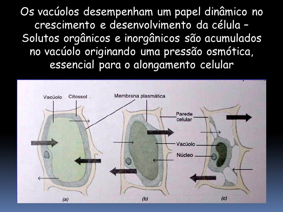 Os vacúolos desempenham um papel dinâmico no crescimento e desenvolvimento da célula – Solutos orgânicos e inorgânicos são acumulados no vacúolo origi