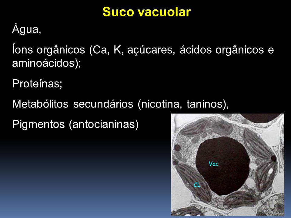 Suco vacuolar Água, Íons orgânicos (Ca, K, açúcares, ácidos orgânicos e aminoácidos); Proteínas; Metabólitos secundários (nicotina, taninos), Pigmento