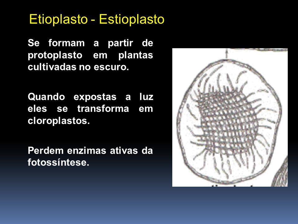 Se formam a partir de protoplasto em plantas cultivadas no escuro. Quando expostas a luz eles se transforma em cloroplastos. Perdem enzimas ativas da