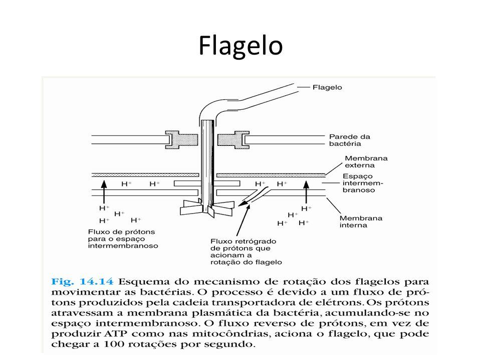 Fímbrias e Pêlos Filamentos rígidos – Proteínas Curtos e numerosos Adesão em superfícies Podem ser de 2 tipos: – Comuns – Sexuais (Pêlo F ou Pili) - Conjugação