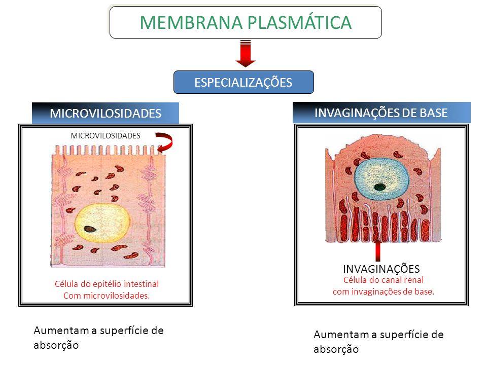MICROVILOSIDADES Célula do canal renal com invaginações de base. INVAGINAÇÕES MICROVILOSIDADES INVAGINAÇÕES DE BASE Célula do epitélio intestinal Com