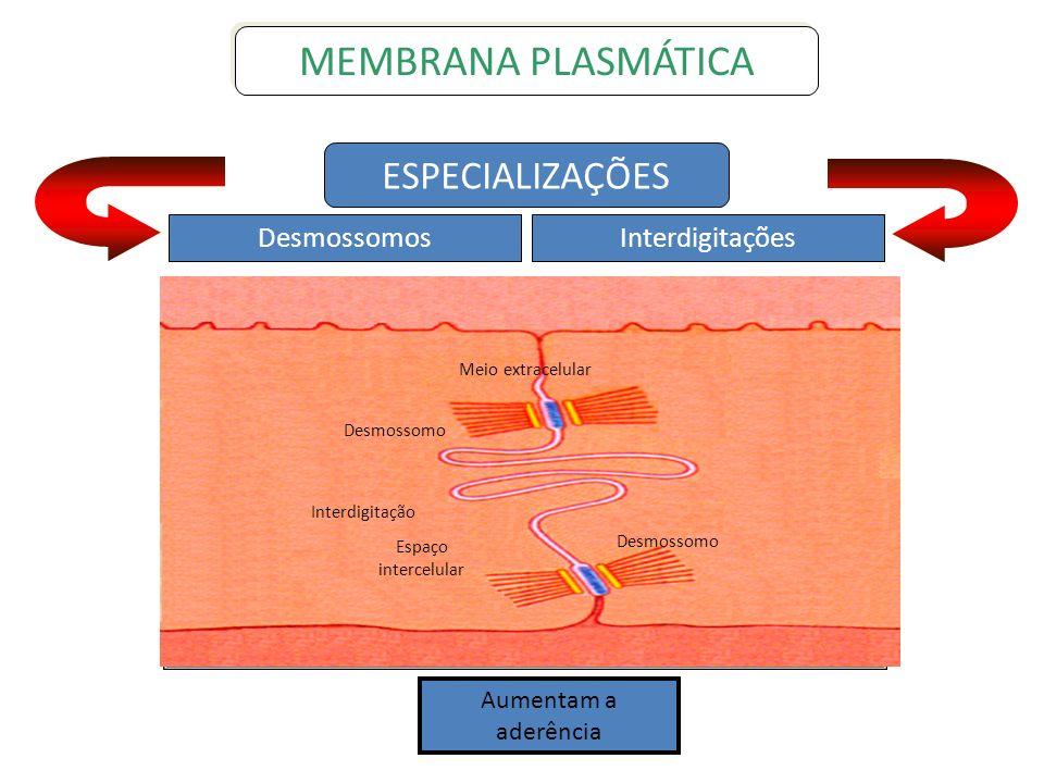 Meio extracelular Desmossomo Interdigitação Espaço intercelular Desmossomo ESPECIALIZAÇÕES DesmossomosInterdigitações MEMBRANA PLASMÁTICA Aumentam a a