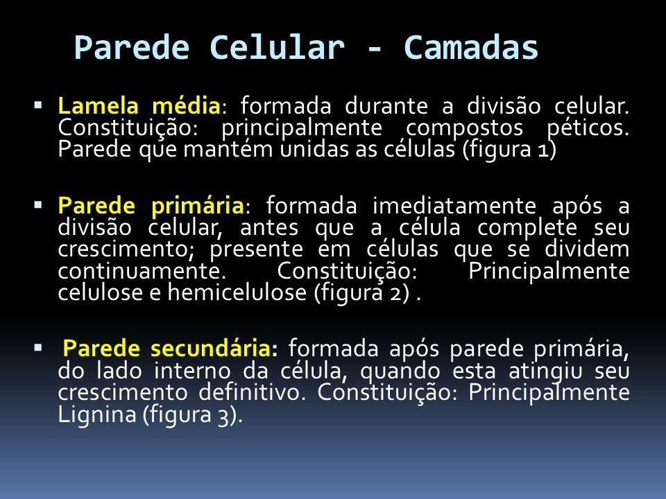 Parede Celular - Camadas Lamela média: formada durante a divisão celular. Constituição: principalmente compostos péticos. Parede que mantém unidas as