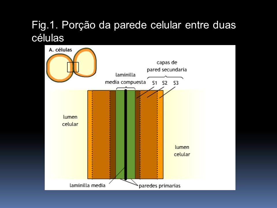 Fig. 7.6. Porción de pared celular entre dos células Fig.1. Porção da parede celular entre duas células