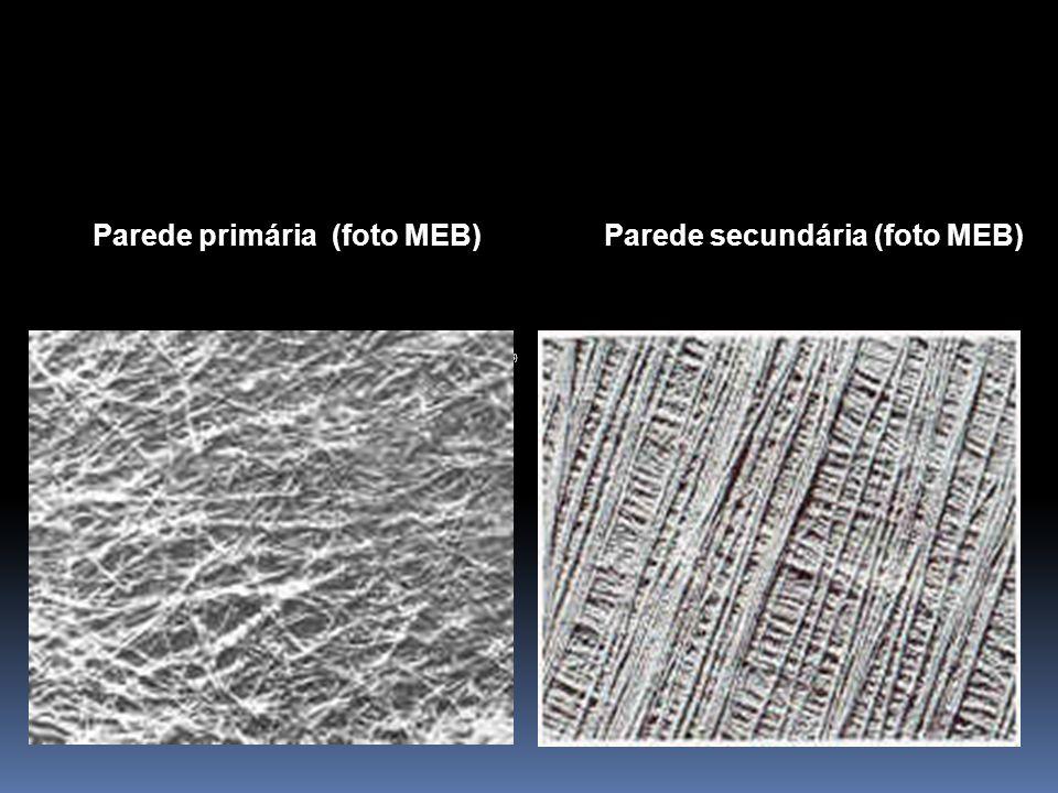 Parede primária (foto MEB) Parede secundária (foto MEB) Imagen tomada de Fahn. (1978)Fahn
