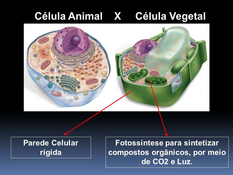 Célula Animal X Célula Vegetal Parede Celular rígida Fotossíntese para sintetizar compostos orgânicos, por meio de CO2 e Luz.