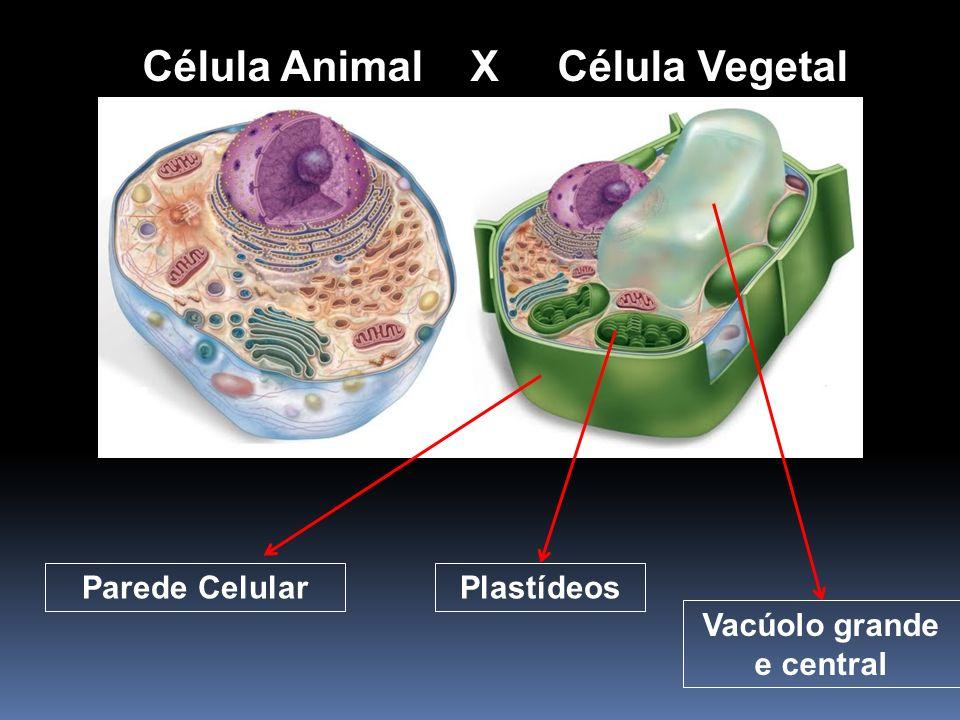 Célula Animal X Célula Vegetal Parede CelularPlastídeos Vacúolo grande e central