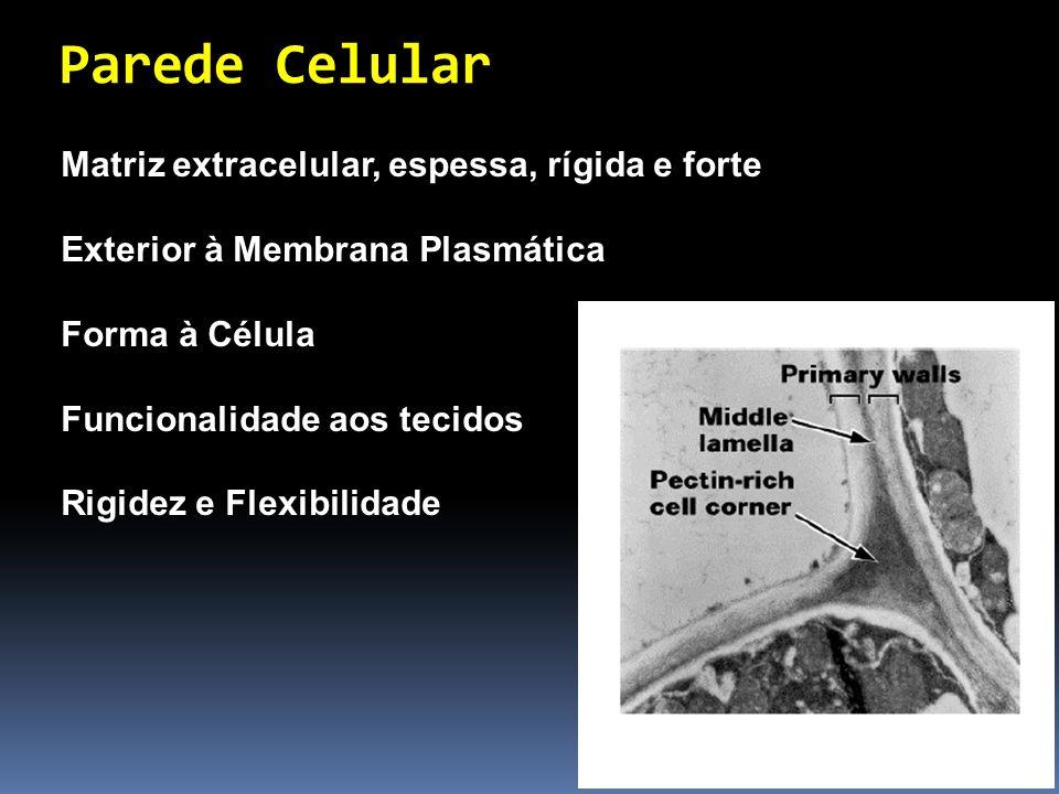 Parede Celular Matriz extracelular, espessa, rígida e forte Exterior à Membrana Plasmática Forma à Célula Funcionalidade aos tecidos Rigidez e Flexibi