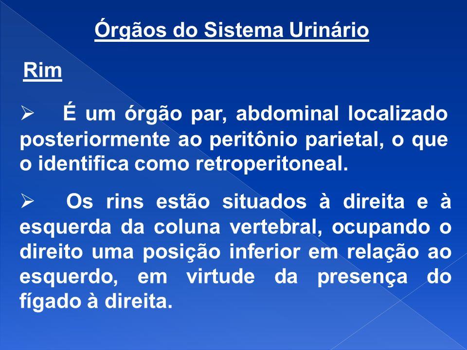 Órgãos do Sistema Urinário Rim É um órgão par, abdominal localizado posteriormente ao peritônio parietal, o que o identifica como retroperitoneal. Os