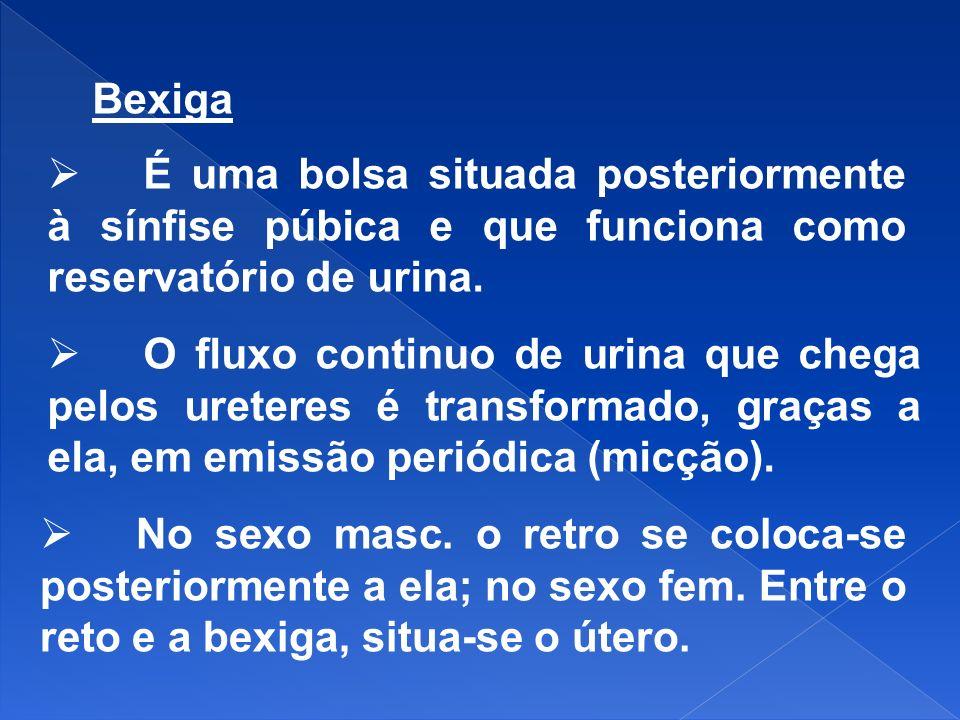 Bexiga É uma bolsa situada posteriormente à sínfise púbica e que funciona como reservatório de urina. O fluxo continuo de urina que chega pelos ureter