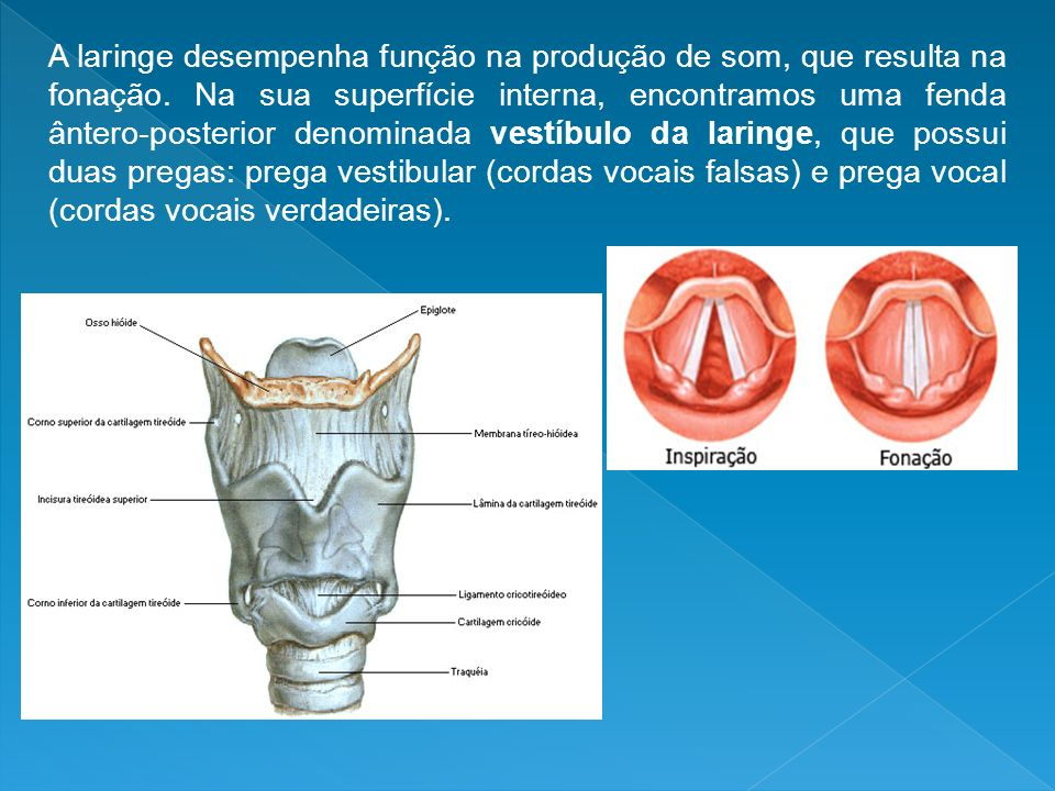 A laringe desempenha função na produção de som, que resulta na fonação. Na sua superfície interna, encontramos uma fenda ântero-posterior denominada v