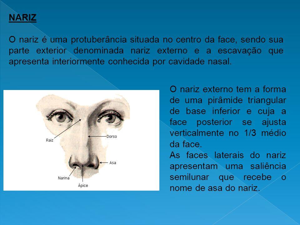 NARIZ O nariz é uma protuberância situada no centro da face, sendo sua parte exterior denominada nariz externo e a escavação que apresenta interiormen
