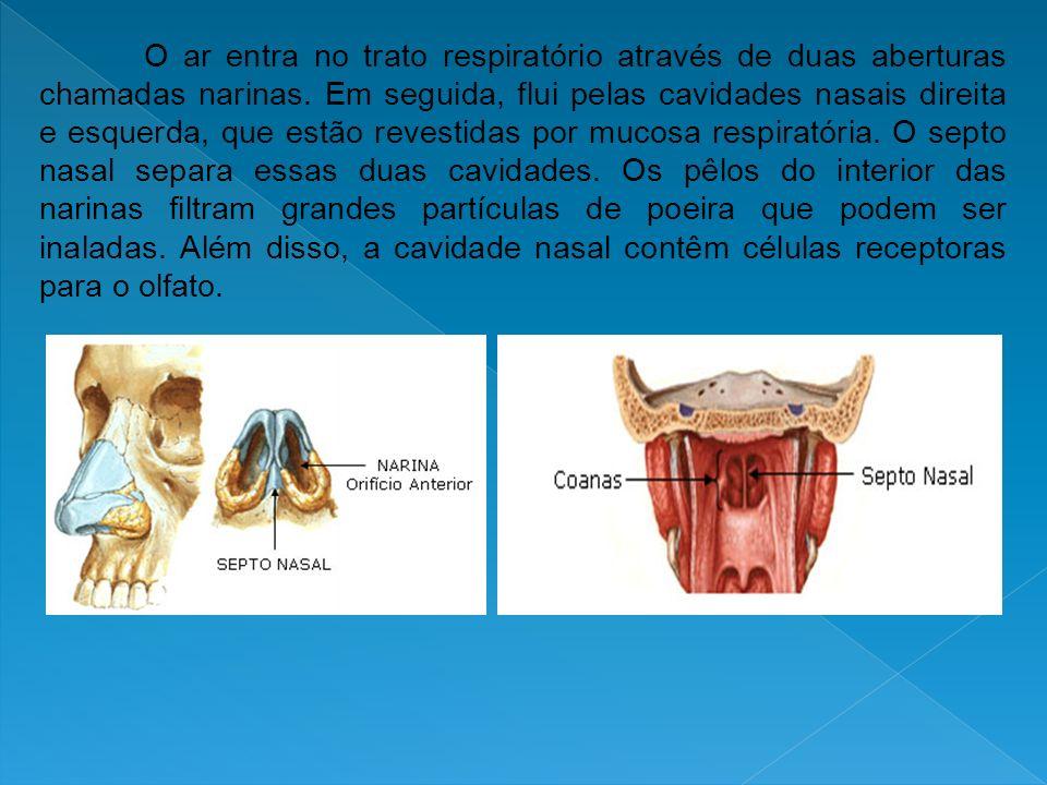 O ar entra no trato respiratório através de duas aberturas chamadas narinas. Em seguida, flui pelas cavidades nasais direita e esquerda, que estão rev