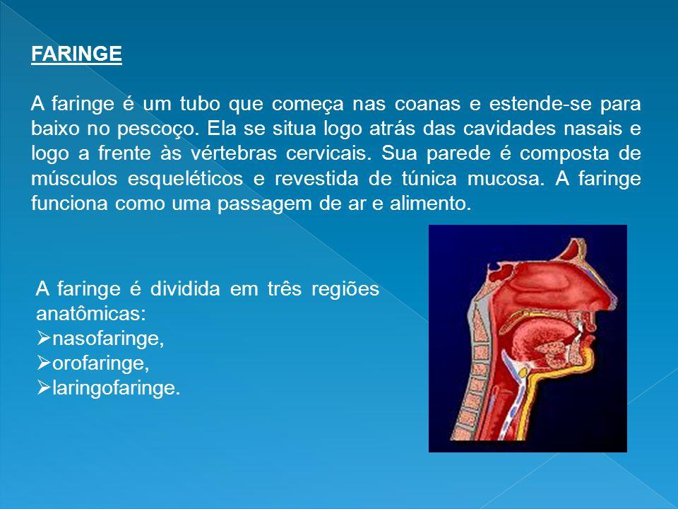 FARINGE A faringe é um tubo que começa nas coanas e estende-se para baixo no pescoço. Ela se situa logo atrás das cavidades nasais e logo a frente às