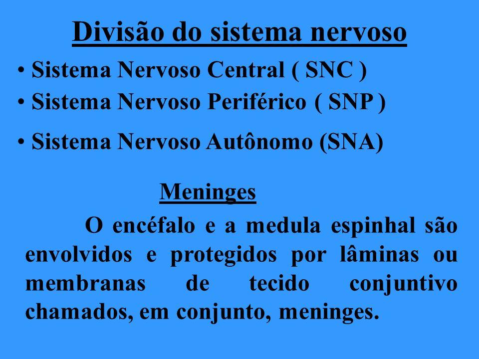 Divisão do sistema nervoso Sistema Nervoso Central ( SNC ) Sistema Nervoso Periférico ( SNP ) Meninges O encéfalo e a medula espinhal são envolvidos e