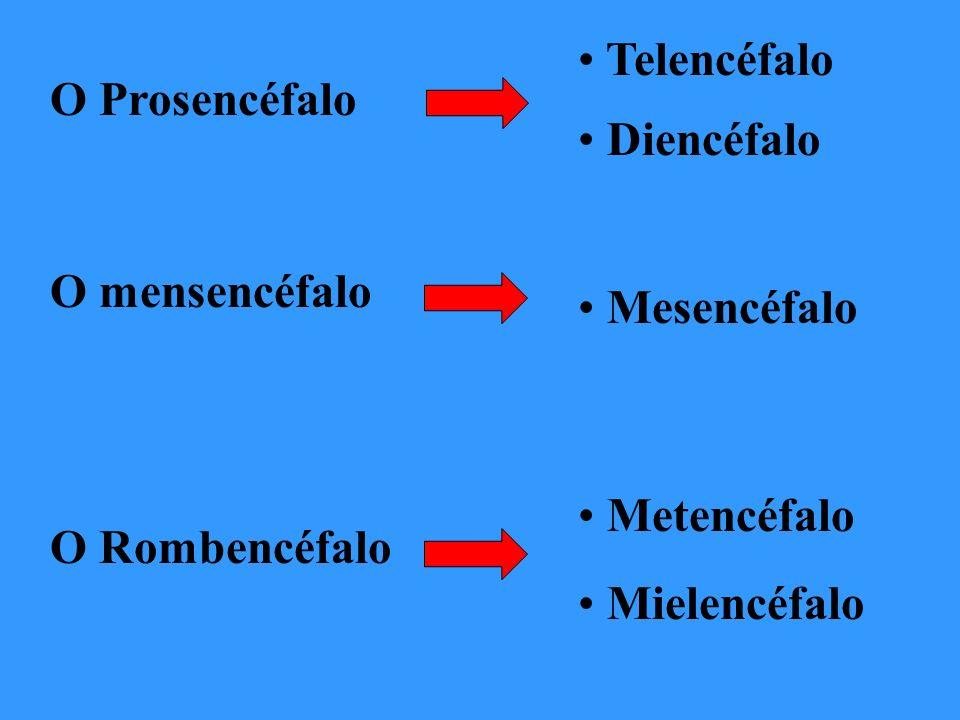 Telencéfalo Diencéfalo Cérebro Mesencéfalo Metencéfalo Cerebelo e ponte Mielencéfalo Bulbo
