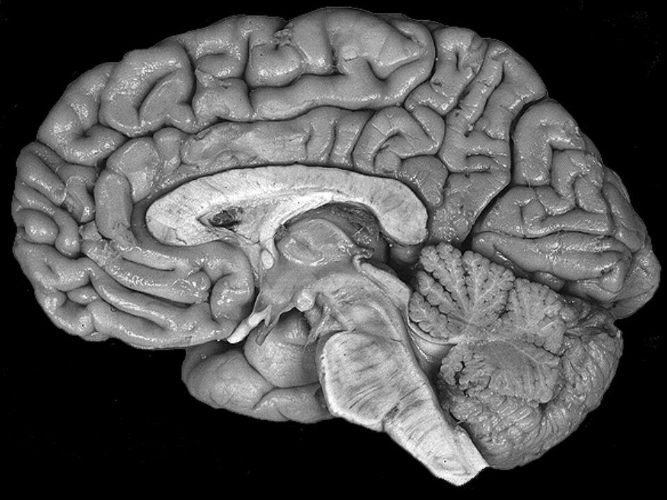 Disposição da substâncias branca e cinzenta do SNC A observação atenta de um corte de encéfalo e medula, permite reconhecer áreas claras e áreas escuras que representam, respectivamente, o que se chama de substância branca e substância cinzenta.