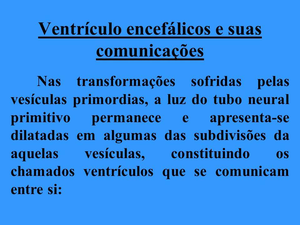 A luz do telencéfalo corresponde aos ventrículos laterais (direito e esquerdo).