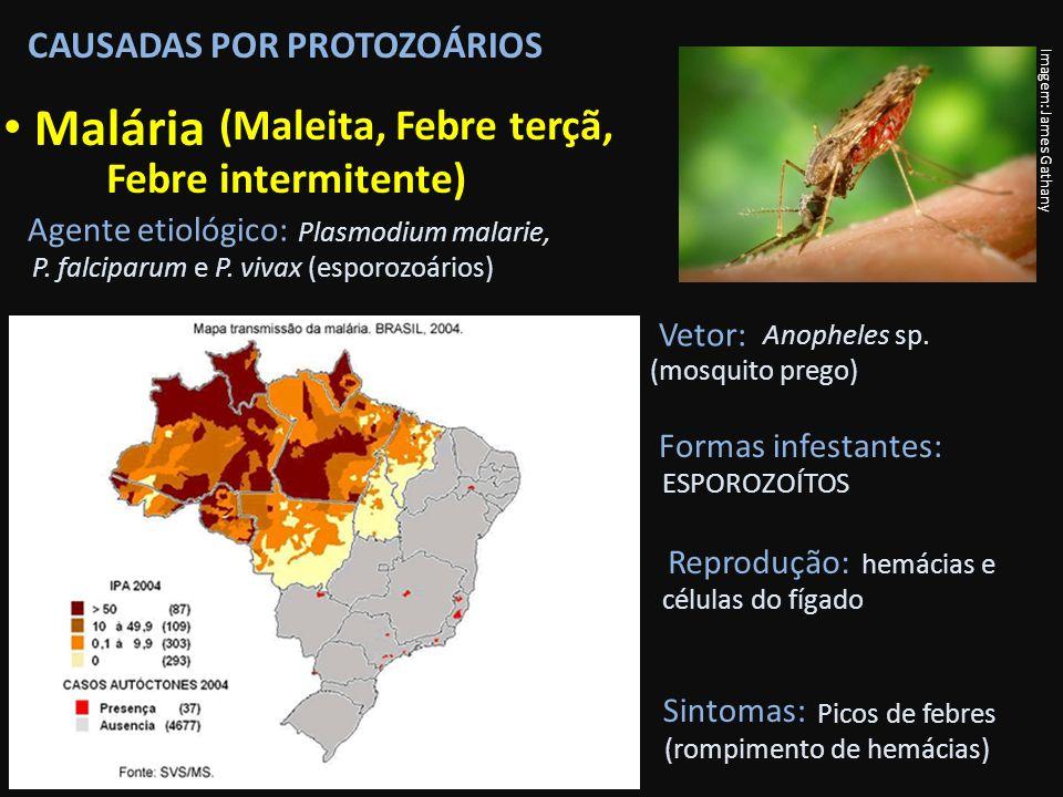 CAUSADAS POR PROTOZOÁRIOS Malária Imagem: James Gathany Vetor: Agente etiológico: Plasmodium malarie, P. falciparum e P. vivax (esporozoários) Anophel