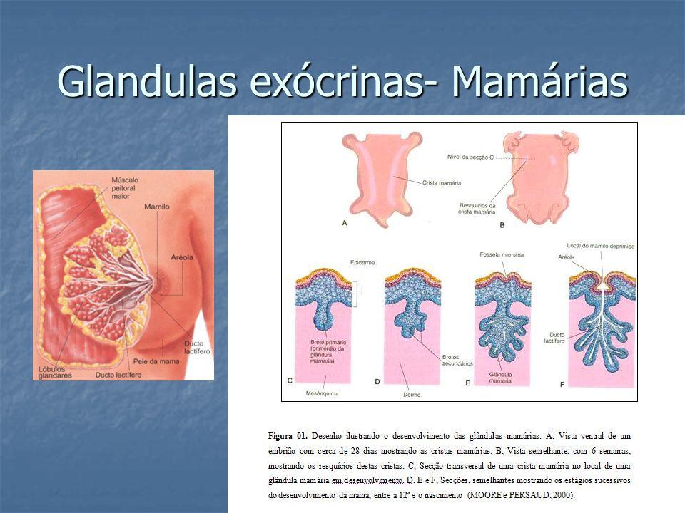 Glandulas exócrinas- Mamárias