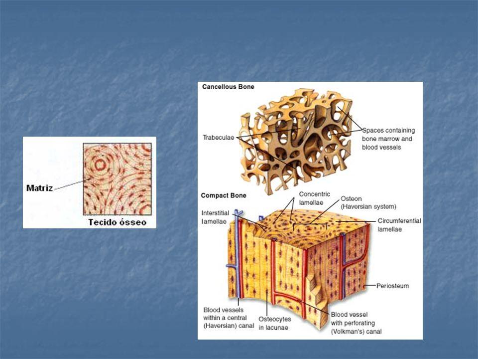 Remodelação óssea: osteoclastos x osteoblastos Depois que o osso atinge seu tamanho e forma adultos, o tecido ósseo antigo é constantemente destruído e um novo tecido é formado em seu lugar, em um processo conhecido como remodelação.