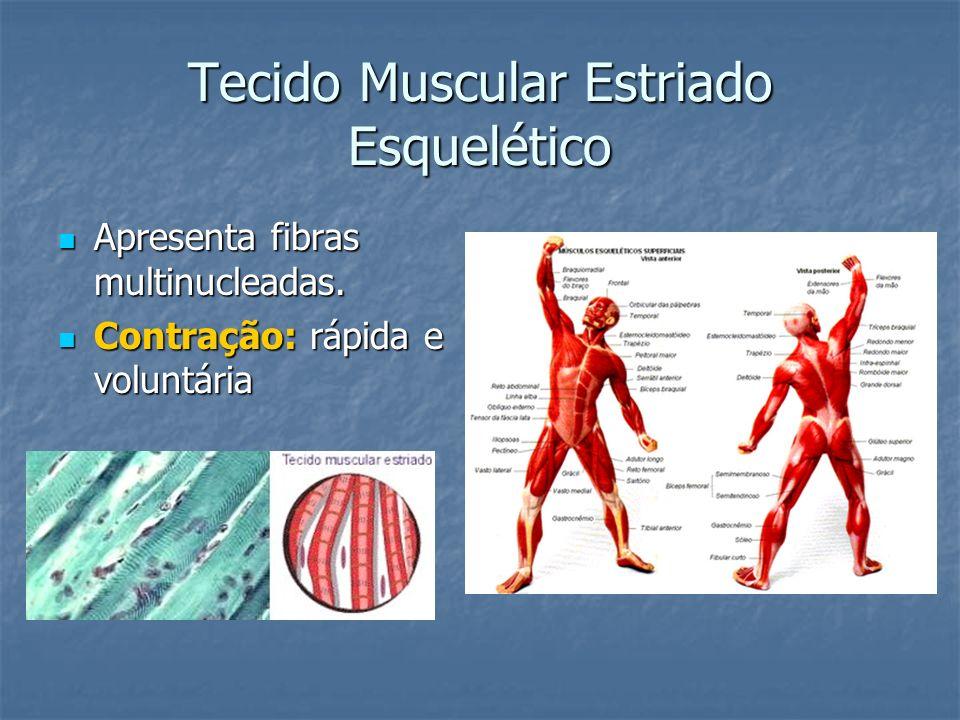 Tecido Muscular Estriado Esquelético Apresenta fibras multinucleadas. Apresenta fibras multinucleadas. Contração: rápida e voluntária Contração: rápid