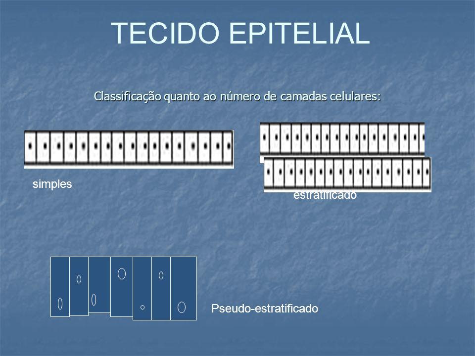 Classificação quanto ao número de camadas celulares: simples estratificado Pseudo-estratificado TECIDO EPITELIAL
