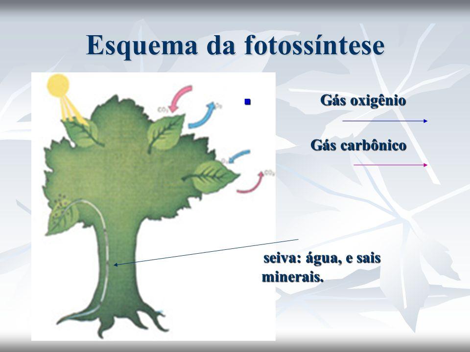 Esquema da fotossíntese Gás oxigênio Gás oxigênio Gás carbônico Gás carbônico seiva: água, e sais minerais. seiva: água, e sais minerais.