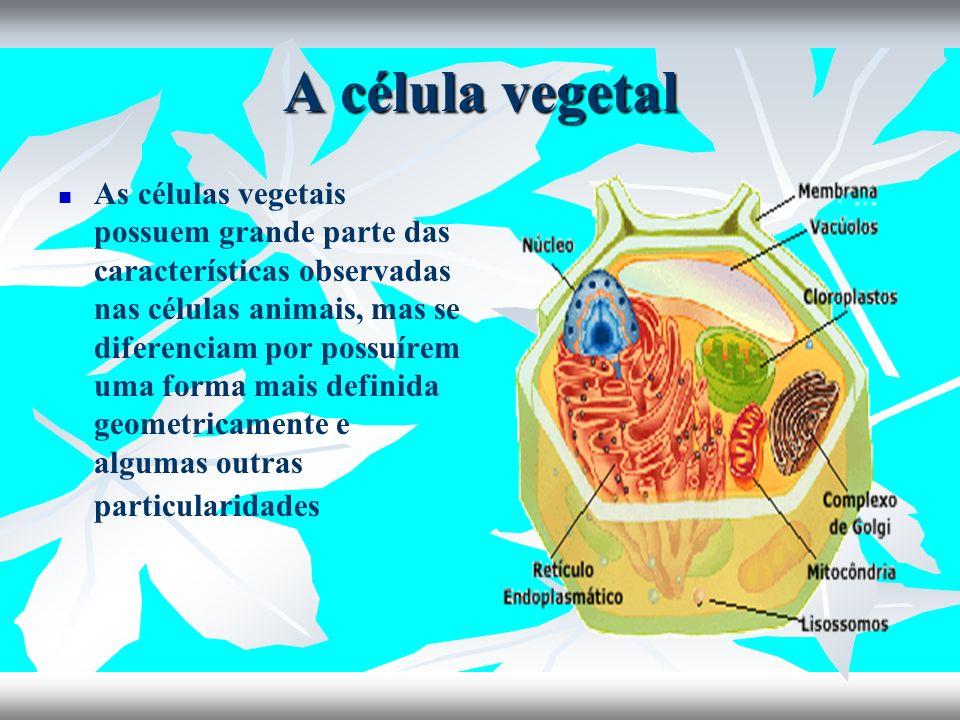 A célula vegetal As células vegetais possuem grande parte das características observadas nas células animais, mas se diferenciam por possuírem uma for
