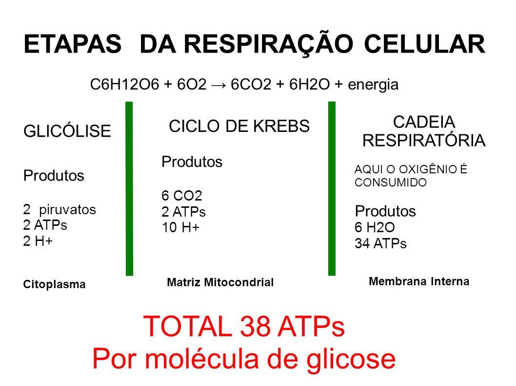 ETAPAS DA RESPIRAÇÃO CELULAR GLICÓLISE Produtos 2 piruvatos 2 ATPs 2 H+ C6H12O6 + 6O2 6CO2 + 6H2O + energia CICLO DE KREBS Produtos 6 CO2 2 ATPs 10 H+