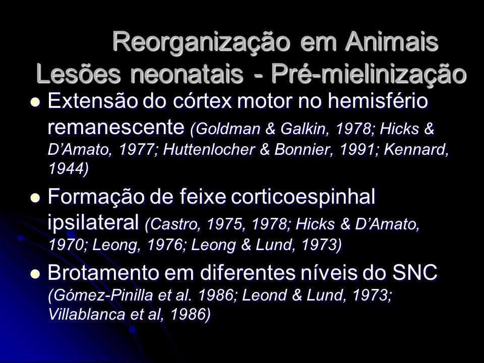 Reorganização em Animais Lesões neonatais - Pré-mielinização Extensão do córtex motor no hemisfério remanescente (Goldman & Galkin, 1978; Hicks & DAmato, 1977; Huttenlocher & Bonnier, 1991; Kennard, 1944) Extensão do córtex motor no hemisfério remanescente (Goldman & Galkin, 1978; Hicks & DAmato, 1977; Huttenlocher & Bonnier, 1991; Kennard, 1944) Formação de feixe corticoespinhal ipsilateral (Castro, 1975, 1978; Hicks & DAmato, 1970; Leong, 1976; Leong & Lund, 1973) Formação de feixe corticoespinhal ipsilateral (Castro, 1975, 1978; Hicks & DAmato, 1970; Leong, 1976; Leong & Lund, 1973) Brotamento em diferentes níveis do SNC (Gómez-Pinilla et al.