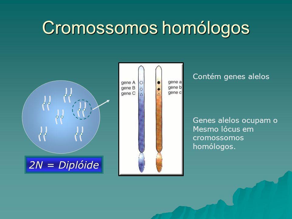 Cromossomos homólogos 2N = Diplóide Contém genes alelos Genes alelos ocupam o Mesmo lócus em cromossomos homólogos.