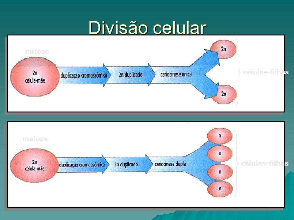 Divisão celular células-filhas mitose células-filhas meiose