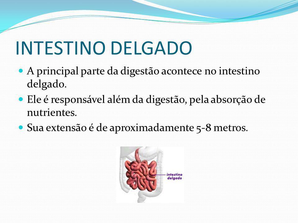 INTESTINO DELGADO A principal parte da digestão acontece no intestino delgado. Ele é responsável além da digestão, pela absorção de nutrientes. Sua ex