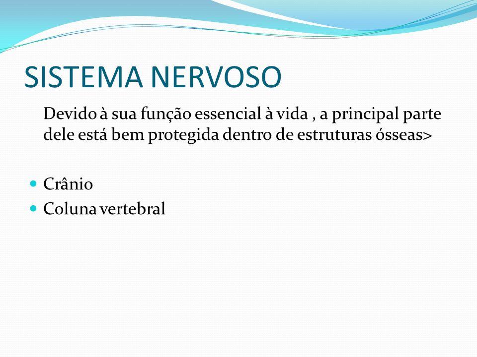 SISTEMA NERVOSO Devido à sua função essencial à vida, a principal parte dele está bem protegida dentro de estruturas ósseas> Crânio Coluna vertebral