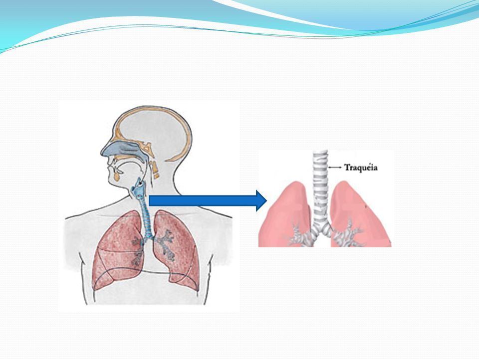 PULMÕES São órgãos essenciais na respiração.São 2 pulmões, um em cada lado do interior do tórax.