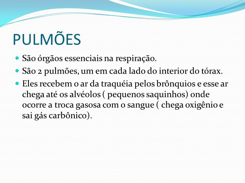 PULMÕES São órgãos essenciais na respiração. São 2 pulmões, um em cada lado do interior do tórax. Eles recebem o ar da traquéia pelos brônquios e esse